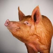 Pig facing right